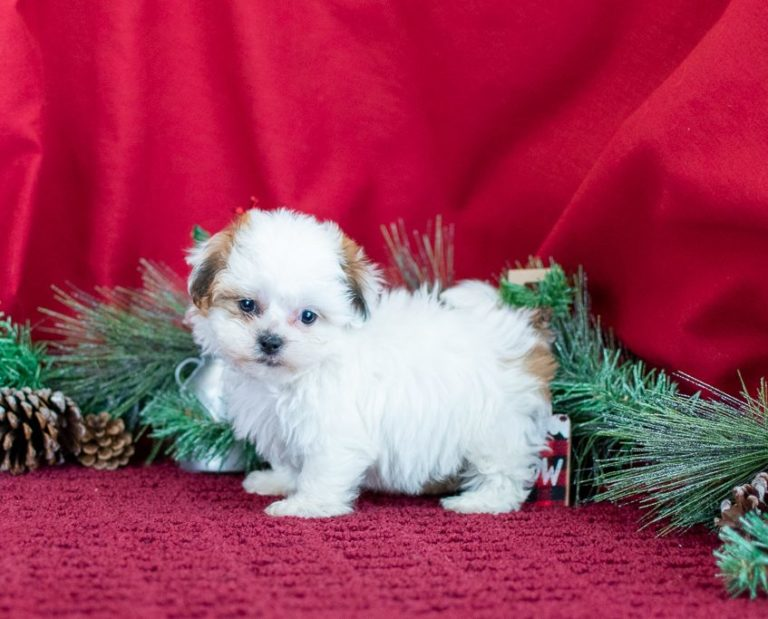 Shichon Teddy Bear Puppies For Sale in Michigan