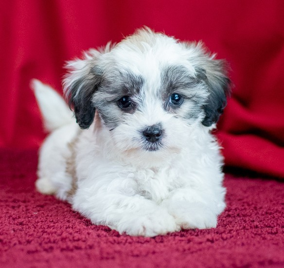 Buy Teddy Bear Puppies For Sale In New Brunswick Canada